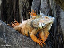 Iguana - Spiky