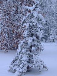 fraser fir with ice & snow