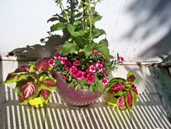 Foxglove-Coleus-Dianthus