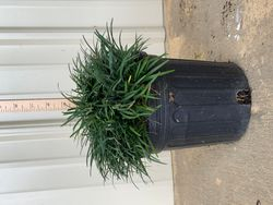 Mini Mondo Grass