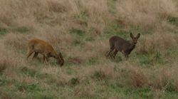 Roe deer does