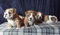 Junior puppies