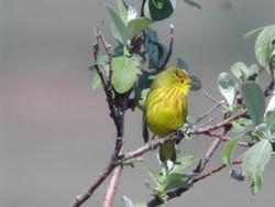 Yellow Warbler  ( Paruline jaune )
