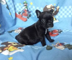 RAELYN:  $3095 companion, $3595 Full AKC registration and breeding rights, AKC French Bulldog Pup born 4-6-17, pics on 5-4-17