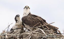 Osprey Mom with baby