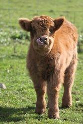 2012 Calf