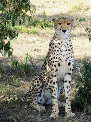 Cheetah - Masai Mara Game Reserve