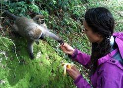 Food-focused vervet monkey