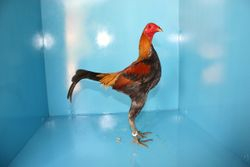 Young Bird Show - 2009