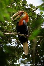 Cocomo (Hornbill), Wanang