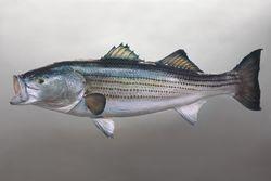 40 lb swimming striper