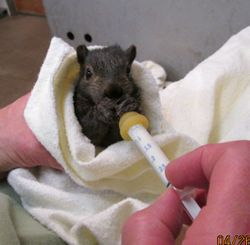 Baby squirrel feeding 3