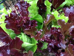 Gorgeous Lettuce Mix