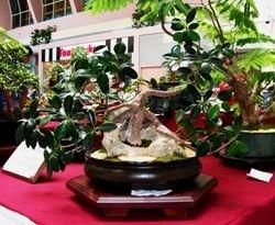 Ficus Green Emerald