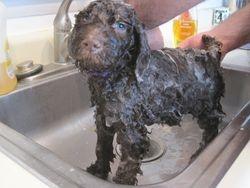 Truffles getting his bath.  5.5 weeks old.