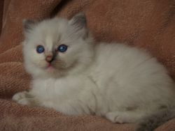 Blue/Cream mittted baby