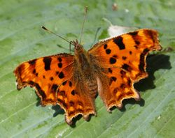 Butterfly - Comma Polygonia c-album