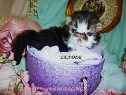 """UNIQUE """" LEADER""""   BLACK/BROWN TABBY/WHITE  MALE  IS RESERVED FOR JASON"""