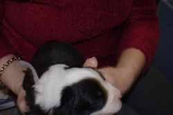 Jazzys babies-Star-13 days old - Black and white female -13 days old
