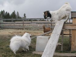 Koda and Lucie the goat March 2011