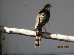 Female Coopers Hawk