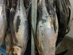 Tuna bonito South Africa
