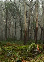 Mt Donna Buang in Fog