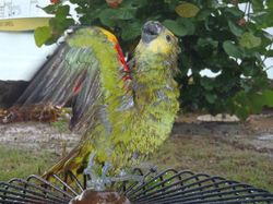 Charlie (the Dive Bequia parrot) having a shower