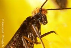 Chrostíkovník 2 (Micropterix sp.)