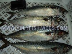 Mackerel Senegal