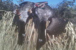 2012 Early season geese