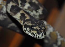 Irain Jaya Carpet Python