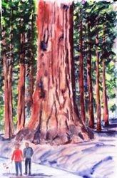 Sequoia Redwood