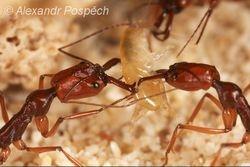 Ants eating Crustacean, Nagada