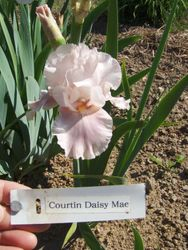Courtin Daisy Mae