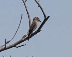 Olive-sided Flycatcher