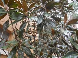 false oleander scale on magnolia