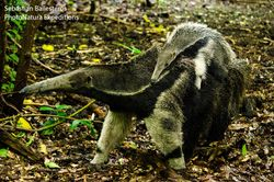 Female Giant anteater and young - Myrmecophaga tridactyla