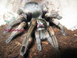 P. ultramurinus MF 2011