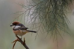 Woodchat Shrike  (PIE-GRIECHE A TETE ROUSSE)