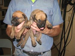 Male bullmastiff puppies born 7/9/2011