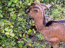 Hawaiian Goat?