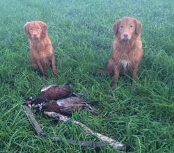 Pheasant Dawgs!