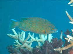 Parrotfish(unidentified)5