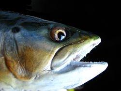 4.5lb b trout
