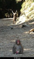 "Interspecific association ""Japanese macaques - mountain deers"""