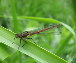 Large red damslefly