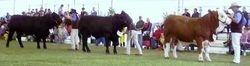Mala-Daki bulls