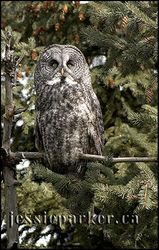 Great Horned Owl,Alberta