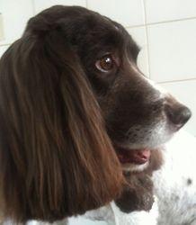 Archie - Springer Spaniel